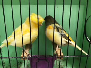 Lankashire canaries for sale