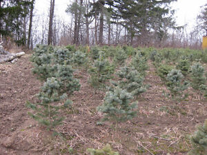 Wholesale Trees - Clearance Pricing - Pine, Spruce & Birch