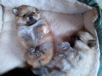 5 Pure Pomeranians--only the black female available.