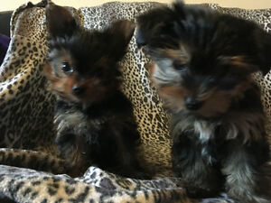 BEAUTIFUL, TEACUP, PURE BRED, YORKSHIRE TERRIERS ONLY ONE LEFT!!