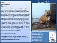 """Young Male Dog - Boxer-Labrador Retriever: """"Lewis"""""""