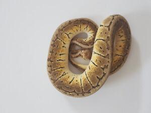 Available Ball Pythons