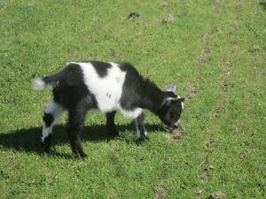 Doelings - Pygmy goats - Tickity Boo Farm