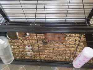 Free guinea pigs with cage and food
