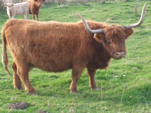 Bred Highland cow for sale