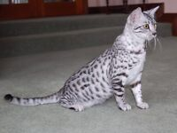 Pedigree Egyptian Mau kittens