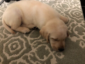 Pure Bred Yellow lab for sale