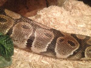 Must sell..Female ball python 100 gallon tank plus extras Kitchener / Waterloo Kitchener Area image 2