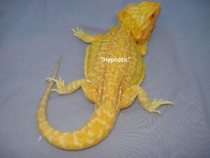 Citrus Tiger Bearded Dragons - Kingston