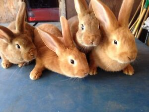 Pet/Meat rabbits