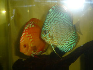 2 pairs of proven discus fish London Ontario image 2
