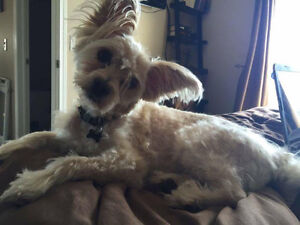 Possibly adopted**Pomeranian mixed male dog neutured 8 years old