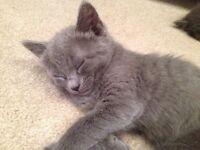Beautiful Russian Blue x kittens