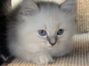 Registered ragdoll kittens