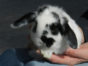 VERY TAME EASTER HOLLAND LOP EARED BUNNIES