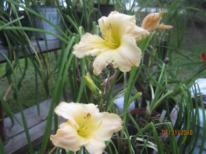 REDUCED PRICE ON POTTED DAYLILIES $6.00 AND $4.00