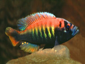 African Cichlids and Plecos for Sale Adults & Young