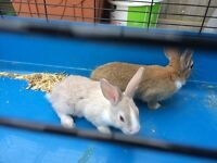 2 baby Rabbits for sale 9 weeks old comes with indoor cage
