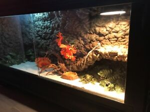 Leatherback Bearded Dragon and Custom Enclosure - Need gone ASAP