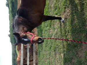 Bomb proof mare for sale or trade