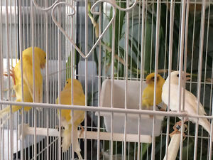 Canaries:  German Rollers for Sale $40 Each