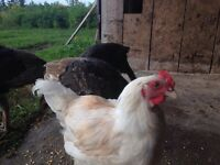 Rooster needs home