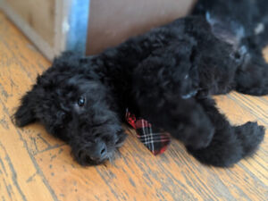 Sheepadoodle | Adopt Dogs & Puppies Locally in Canada | Kijiji