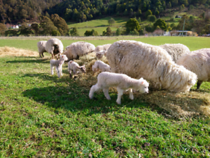 11ewes 12 Lambs