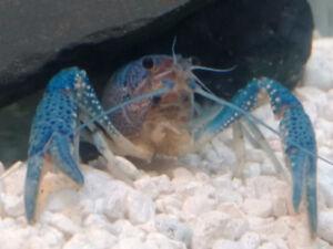Blue Lobster - Great pet.