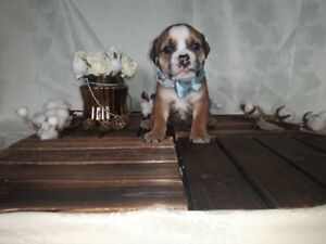 English Bulldog Puppies Just In Time For The New Year!