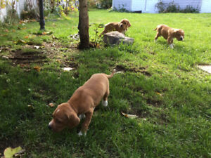Chiot - Pointeur Anglais *Chasse-Famille*
