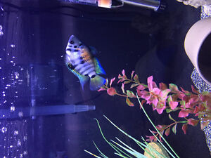 Breeding pair convict cichlids
