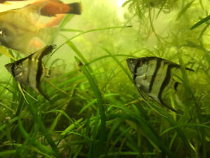 Angel fishes & Fancy Guppies for sale $4 angels $2 fancy guppies