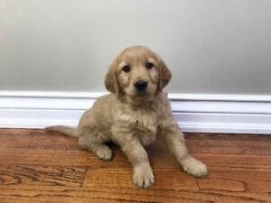 Golden Lab Retriever Puppies - M/F's