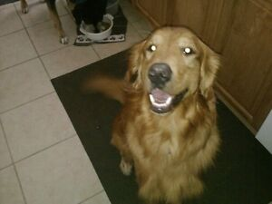 Male Golden Retriever STILL MISSING - REWARD OFFERED Peterborough Peterborough Area image 1