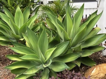 AGAVE ATTENUATA PLANTS VARIOUS SIZES $5 EA - NOT CUTTINGS