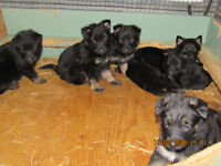 Non registered German Shepherd pups for sale