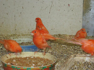 Red Factor canaries. London Ontario image 7
