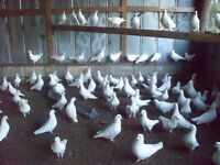 King pigeons for sale Quick sale