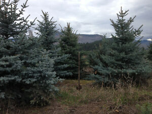 BLUE SPRUCE for landscaping Grand Forks BC