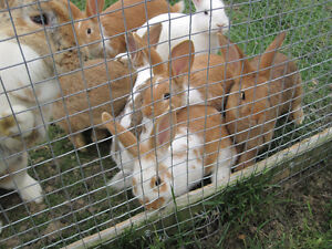 Pet/ meat bunnies for sale