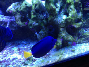 Purple Tang - Awesome!!!!