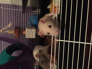 2 Female Rats + cage and supplies
