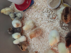 baby chicks for sale