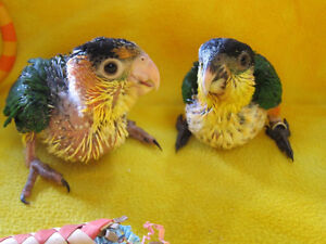 ❤♥☆♥ CAIQUE ♥ Babies with Cage and Food ♥☆♥❤ London Ontario image 7