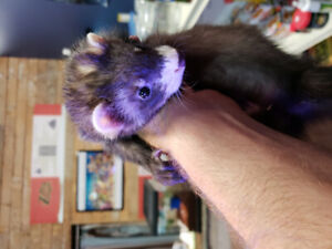 Baby ferrets at The Extreme Aquarium here in Sarnia