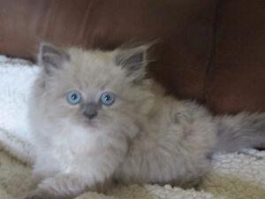 Himalayan Ragdoll kittens