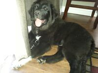 One 4 month old male Newfoundland X Pup to find a loving family