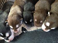 Amazing Siberian Husky Puppies