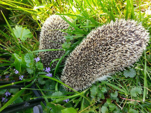 Two female Hedgehog for rehoming with a big cage